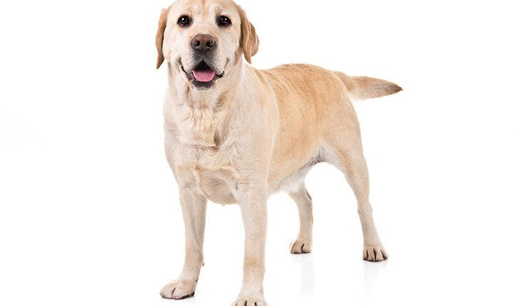 वैज्ञानिकों ने कुत्तों से इंसानों में फैलने वाले कोरोना वायरस की खोज की ।